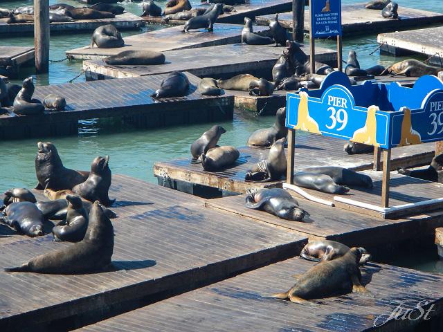Bild Seehunde Pier 39