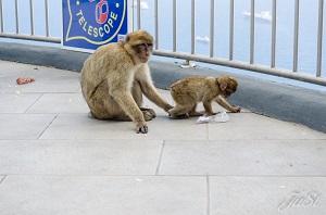 ^Bild Affenfamilie auf dem Affenfelsen in Gibraltar