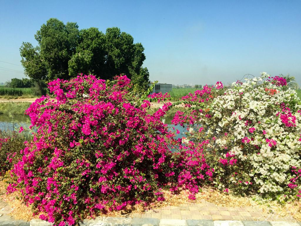 Blumen am Straßenrad nach Luxor