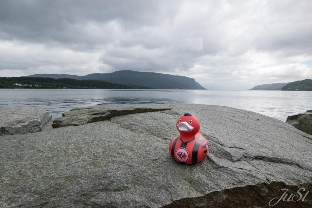 Ente im Fjord