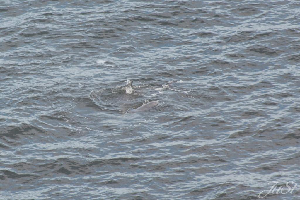 Delfine in Hafen von Charleston